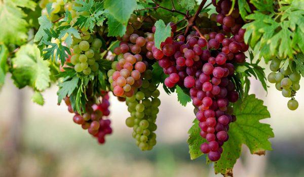 Agrowisata-Perkebunan-Anggur-Di-Probolinggo5